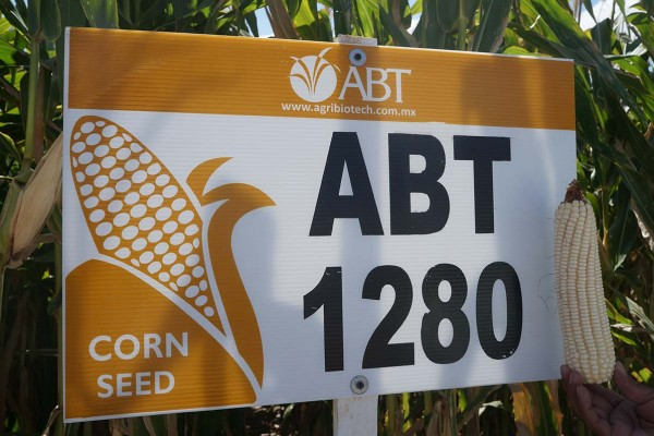 Maíz ABT 1280, híbrido blanco de cruza simple con gran uniformidad y potencial de rendimiento excepcional