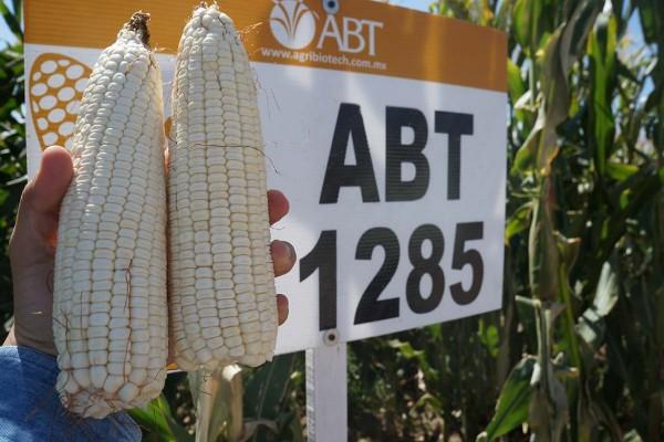Maíz ABT 1285, híbrido de grano blanco y de ciclo intermedio con muy buena sanidad de planta y cobertura de mazorca