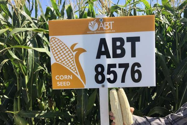 Maíz ABT 8576, híbrido blanco de cruza triple, de hojas semierectas con excelente potencial de rendimiento y una buena relación Grano-Forraje