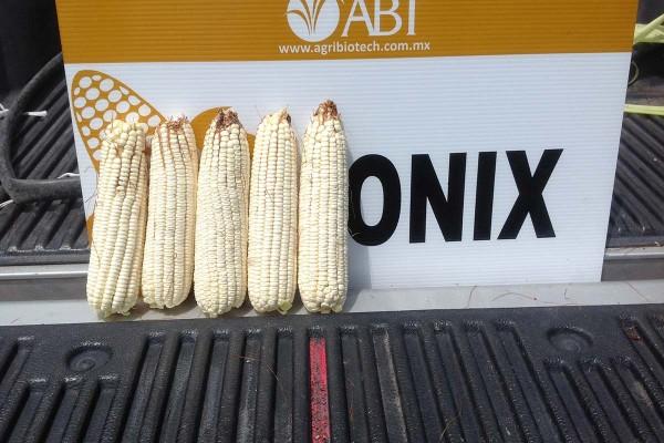 Maíz ABT Ónix, híbrido blanco de cruza simple recomendado para los que buscan cantidad y calidad además de ser excelente para tortilla por su color de grano blanco intenso