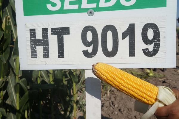 Maíz HT 9019Y, híbrido amarillo de ciclo precoz con buen vigor, alta sanidad a la cosecha y excelente calidad de forraje