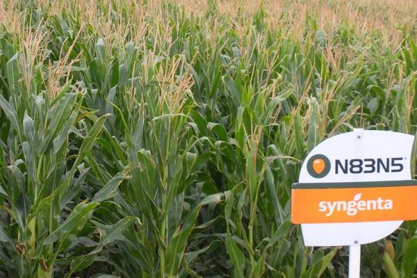 Maíz N83N5, híbrido de grano amarillo de ciclo precoz que produce forraje con alto valor nutricional y rendimientos muy estables