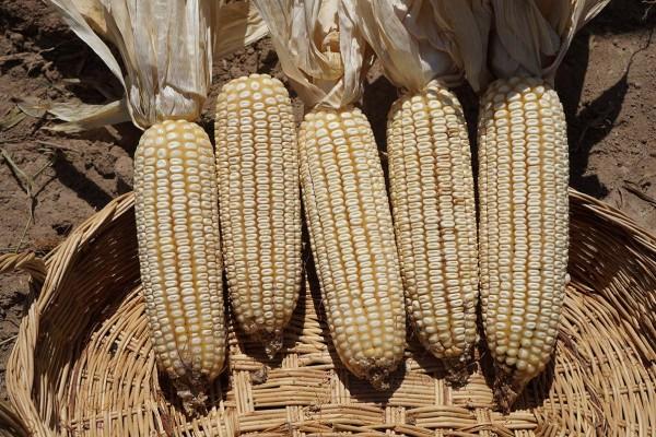 Maíz SZ6008W, híbrido blanco de ciclo precoz que ofrece una proporción ideal de grano y fibra para producir silo de alta calidad y sobresaliente sanidad en las plantas y grano