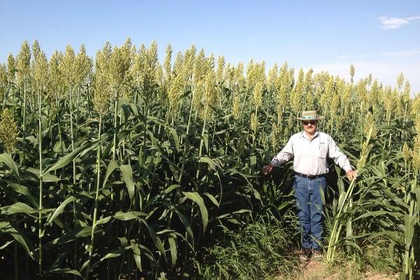 Sorgo Forrajero Fame, sorgo desarrollado para un ensilaje de excelente calidad por su alto contenido de grano y con gran adaptación en el Norte y Centro de México