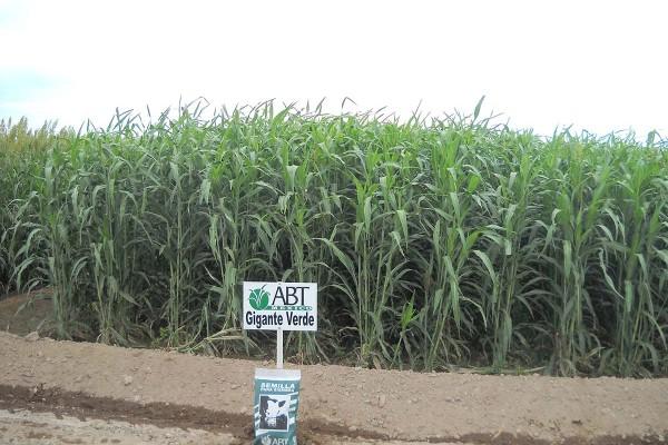 Sorgo Forrajero Gigante Verde, sorgo con una genética desarrollada especialmente para producir una gran cantidad de toneladas por hectárea