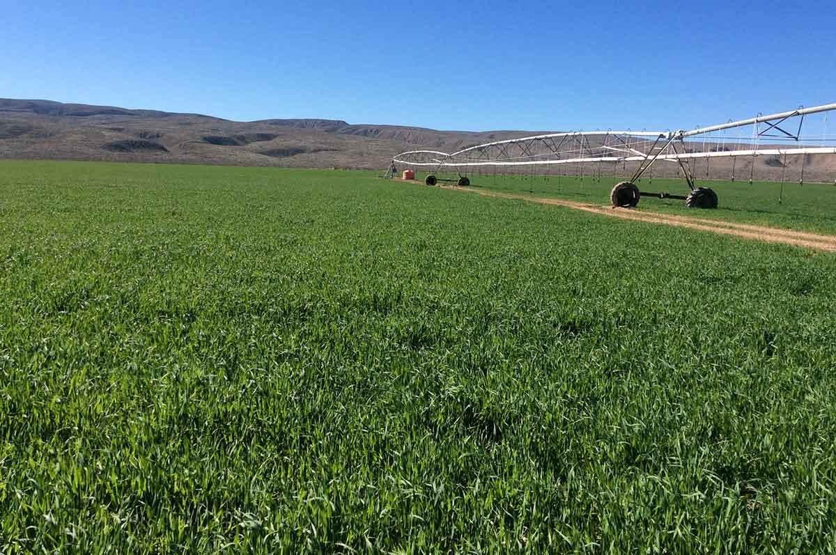 Avenas ABT México, avenas adaptables a terrenos muy diversos y es un excelente forraje para el ganado. Excelente absorción de nutrientes del suelo.