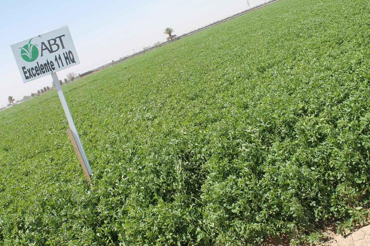 Alfalfa Excelente 11 - AgriBioTech México, variedad con un potencial de rendimiento alto por su rápido rebrote