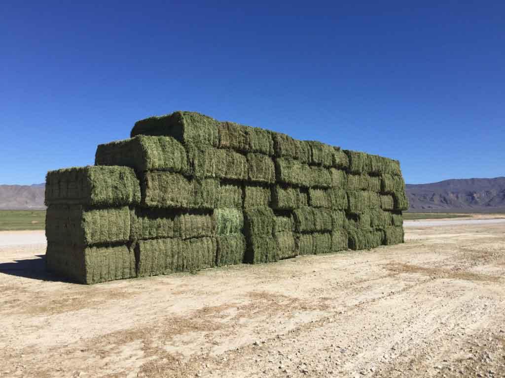 Alfalfa Excelente Plus - AgriBioTech México, recomendada por su alta retención de hoja para obtener pacas de gran calidad