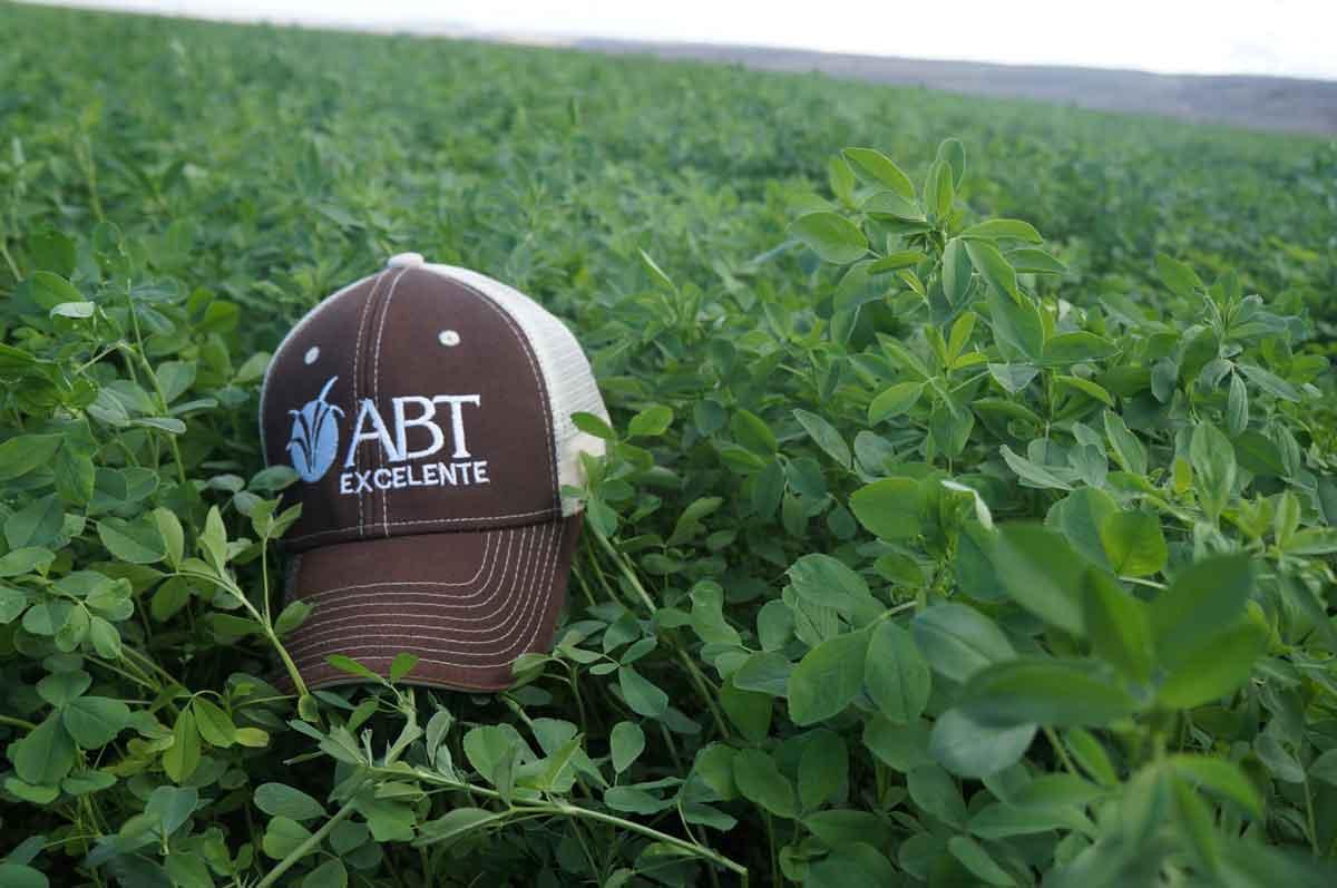 Alfalfa Excelente Milk 10 - AgriBioTech México, alfalfa seleccionada después de varios años de evaluación por su alta cantidad de forraje y con excelente resistencia al paso constante del equipo agrícola por lo que mostrará una mejor persistencia