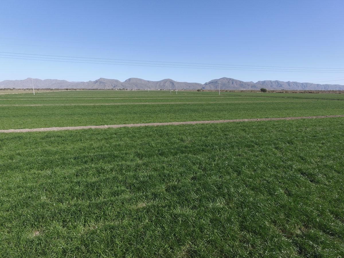 Rye Grass ABT México, cultivo forrajero con excelente potencial de rendimiento y valor alimenticio para la época de invierno.
