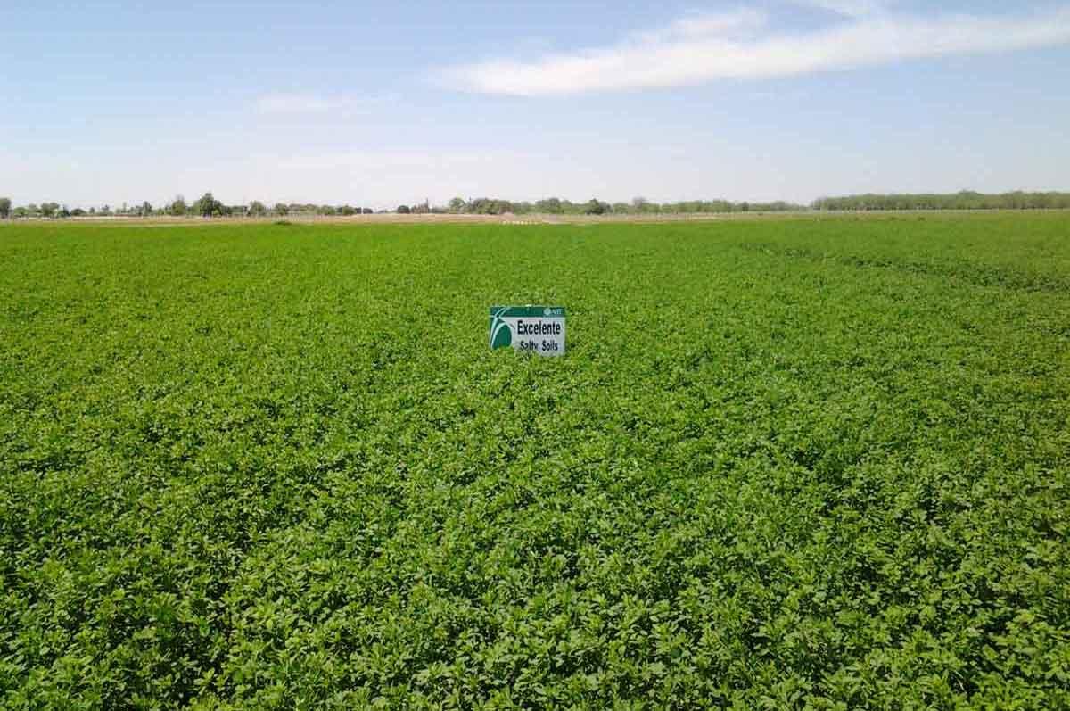 Alfalfa Excelente Salty Soils - AgriBioTech México, alfalfa seleccionada después de varios años de evaluación por su alta resistencia a suelos salinos