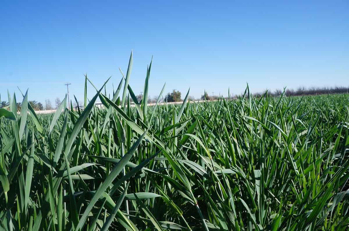Triticale ABT México, forraje con alto potencial de rendimiento y calidad, mejor eficiencia en el uso de agua contra otros cultivos de invierno.